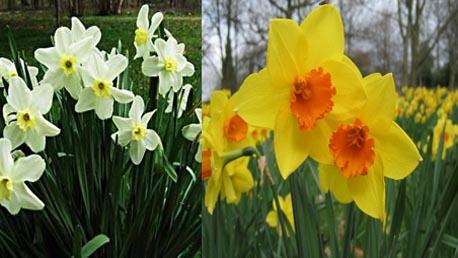 زهرة النرجس البري Daffodil Narjess