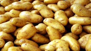 إقتصادي بسبب إنخفاض أسعارها: فلاحون يتلفون كميات كبيرة البطاطا بوسالم 484-300x168.jpg